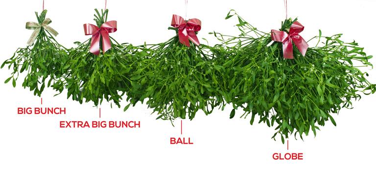 Buy Mistletoe Bunches Mistletoe Balls Fresh English Berried