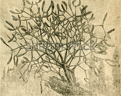 old pictured mistletoe