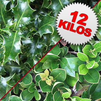 12 Kilos of Fresh Cut Unberried Holly