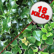 18 Kilos of Fresh Cut Unberried Holly