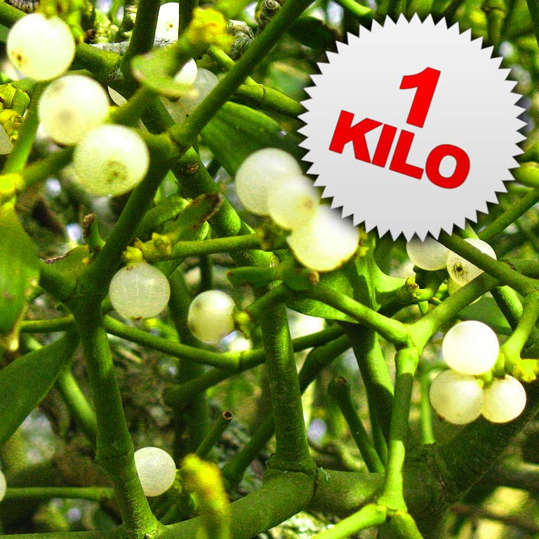 1 Kilo of Fresh Mistletoe Sprigs
