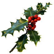 A Sprig of Fresh Berried Holly